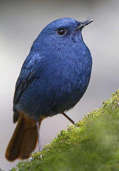 Blue-Plumbeous-Water-Redstart-Wildmoz.com