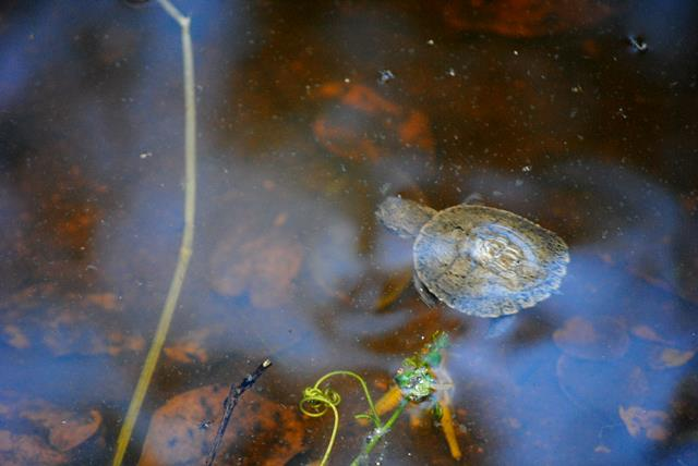Decorated-reptile-terrapin-and-tadpoles-Wildmoz.com
