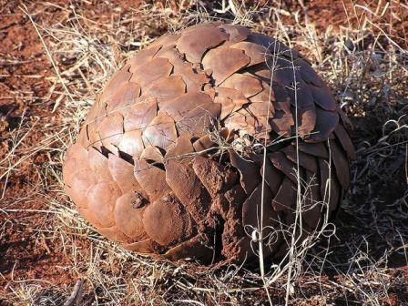 Pangolin-Ball-Wildmoz.com