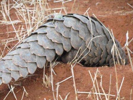 Pangolin-Hole-Wildmoz.com