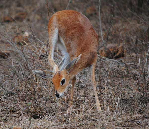Steenbok-Itching-Wildmoz.com