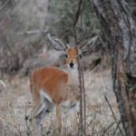 Shy Retiring: Little Steenbok