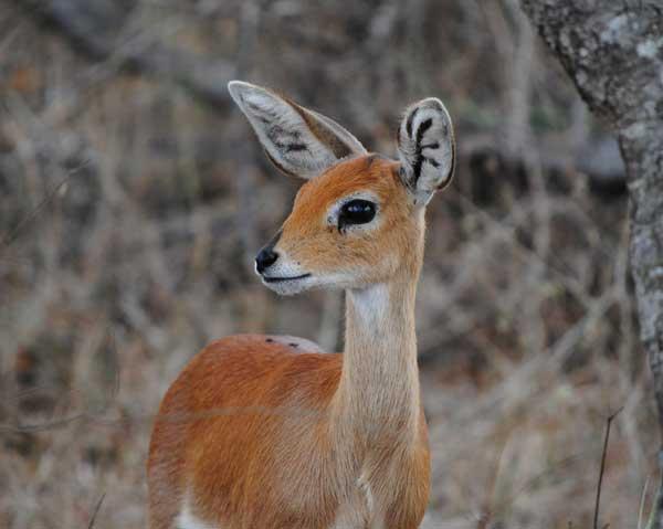 Steenbok-Posing-Wildmoz.com