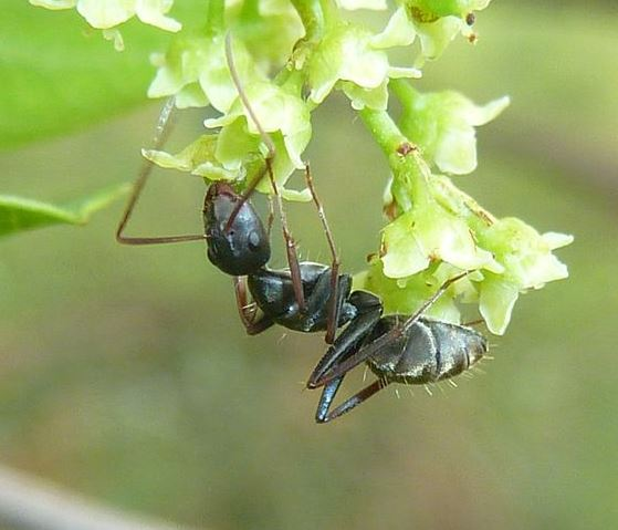 Ant-collecting-Nectar-Wildmoz.com