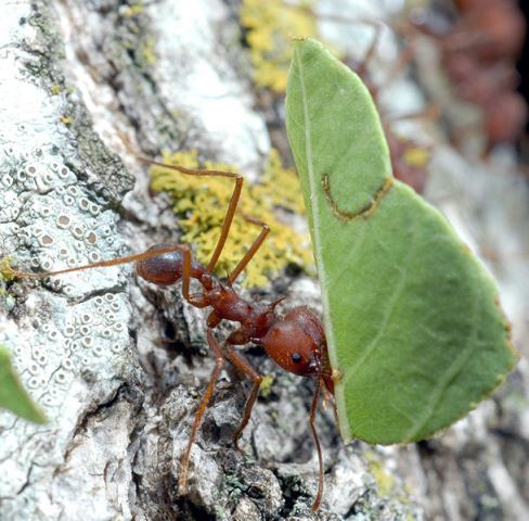 African-Ant-Working-Wildmoz.com