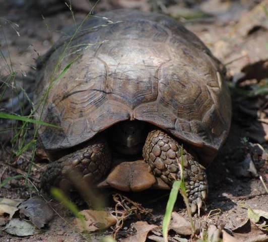 Hinged-tortoise-shy-but-curious-wildmoz.com