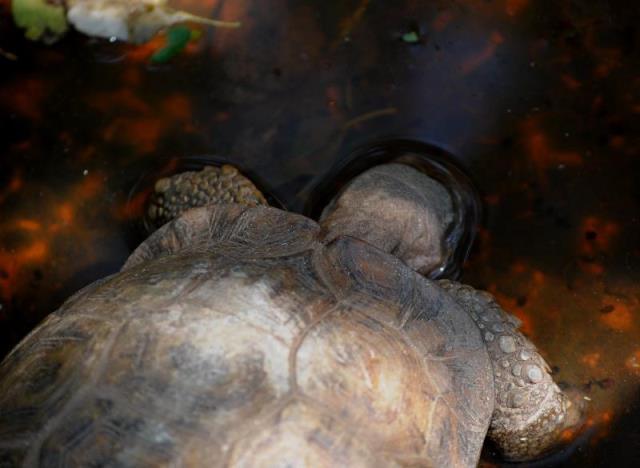 Hinged-Tortoise-drinking-wildmoz.com