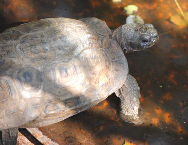 Hinged-tortoise-Wildmoz.com