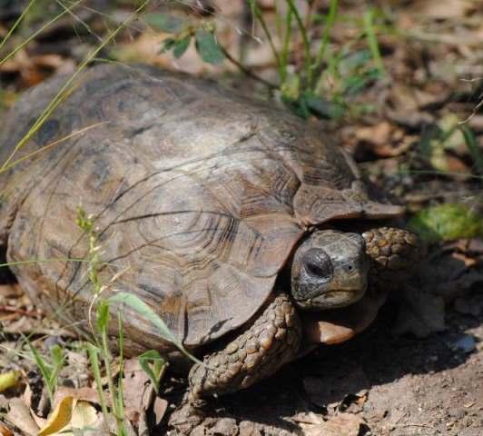 Speke's-Hinged-Tortoise-Wildmoz.com