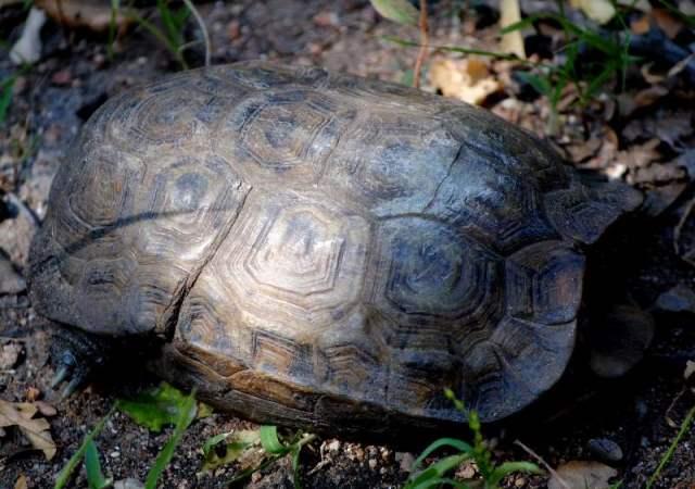 hinged-tortoise-roaming-rock-wildmoz.com