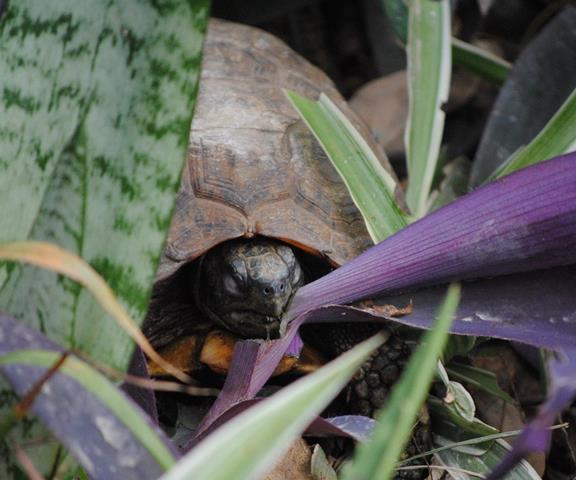 Hinged-Tortoise-eating-Wildmoz.com