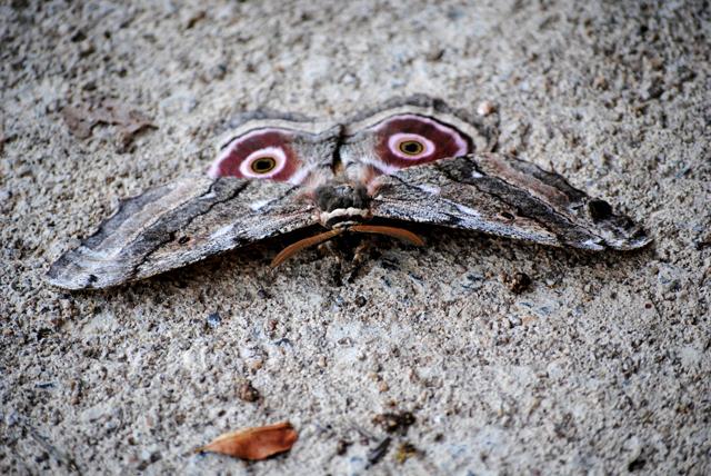Mopani-Moth-Front-Wildmoz.com