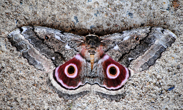 Mopani-Moth-Top-Wildmoz.com