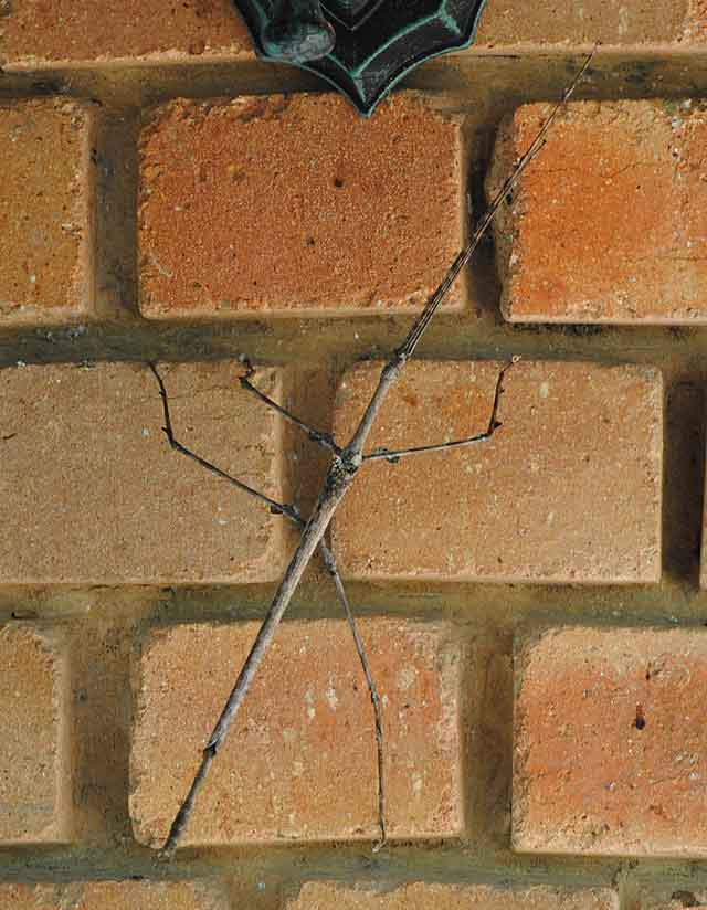 Stick-Insect-2-Wildmoz.com