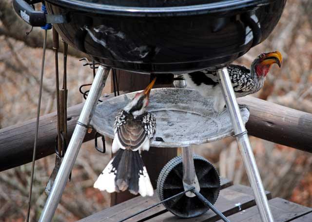 Yellow-Billed-Hornbills-2-Wildmoz.com