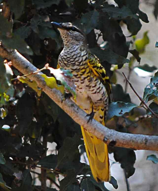 Everyday-wildlife-cuckoo-shrike-wildmoz.com