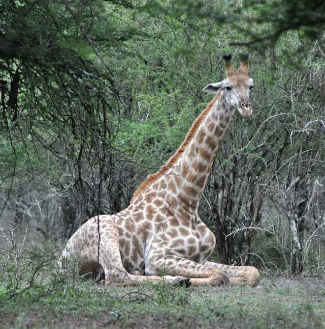 Everyday-Wildlife-Giraffe-Resting-Wildmoz.com