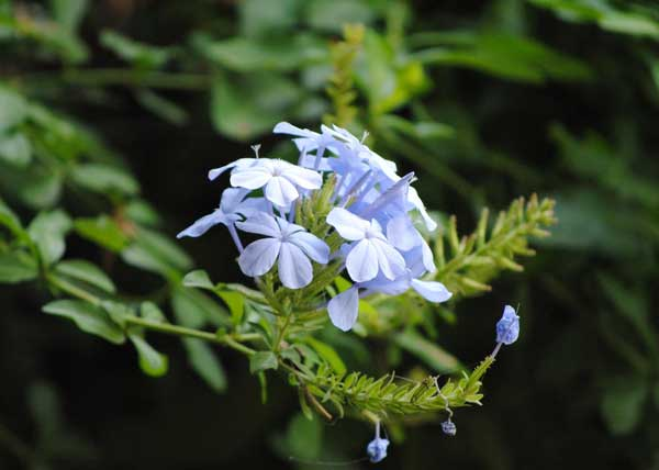 Everyday-wildlife-plumbago-Wildmoz.com