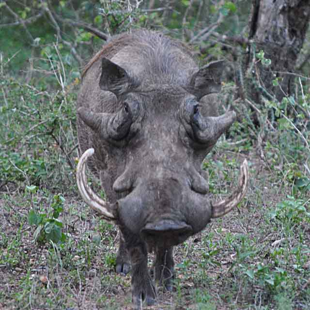 Everyday-Wildlife-Warthog-Boar-Wildmoz.com