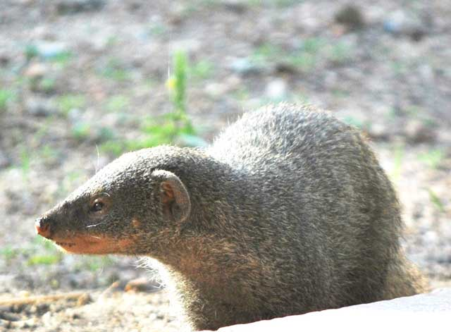 Banded-Mongoose-Wildmoz.com