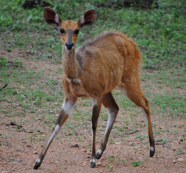 Bushbuck-Ewe-facing-forward-wildmoz.com