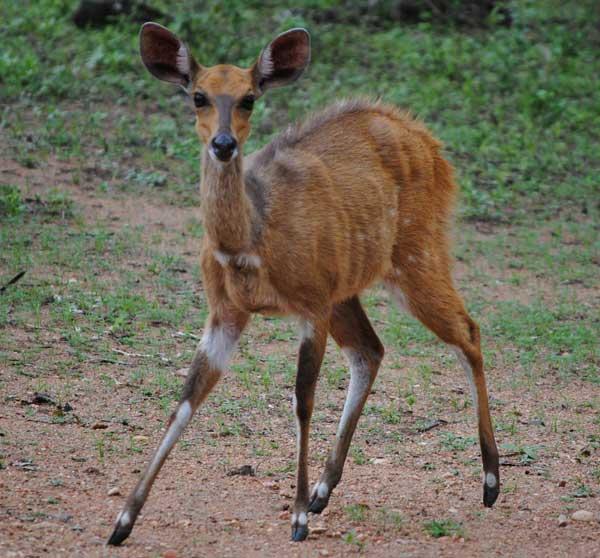 Bushbuck-Ewe-facing-forward-wildmoz.com