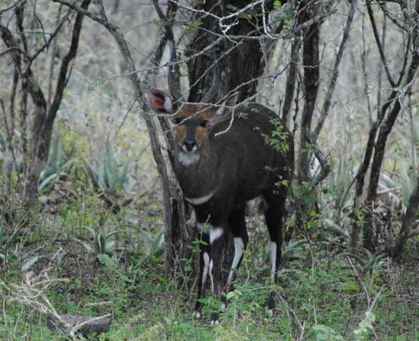 Bushbuck-Ram-wildmoz.com