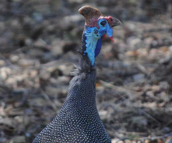 Crowned-Guinea-Fowl-wildmoz.com