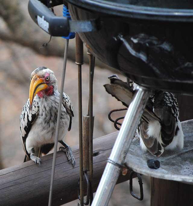Hornbill-Acrobats-Wildmoz.com