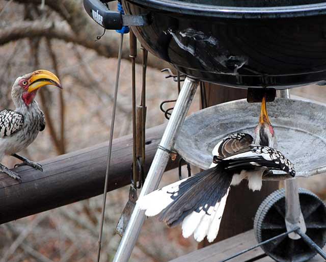 Hornbill-Barbeque-Wildmoz.com