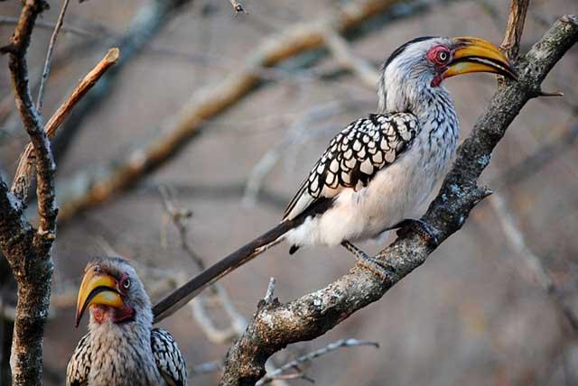 Hornbill-Dialogue-Wildmoz.com