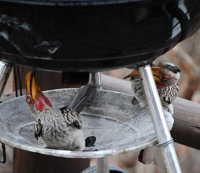 Hornbill-Mechanics-Wildmoz.com