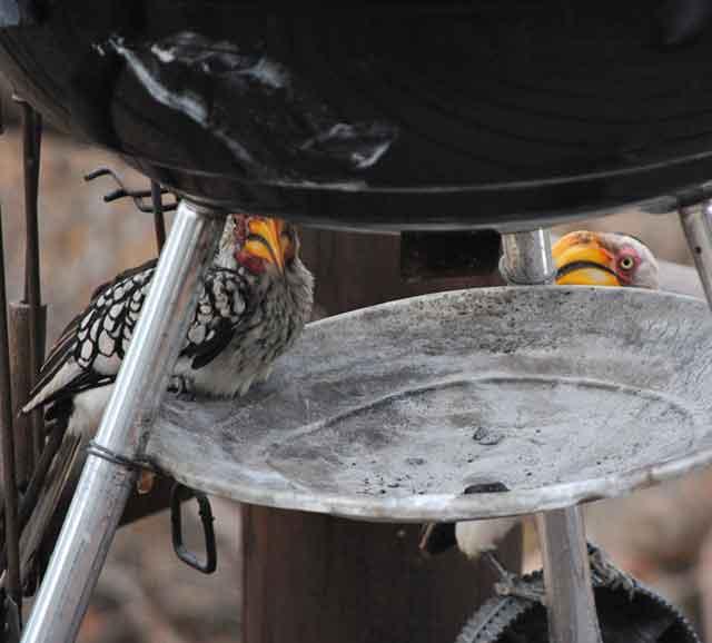Hornbills-Confused-Wildmoz.com