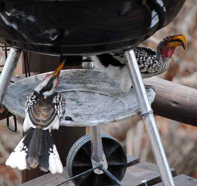Hornbills-Stooky-and-Lil-Wildmoz.com