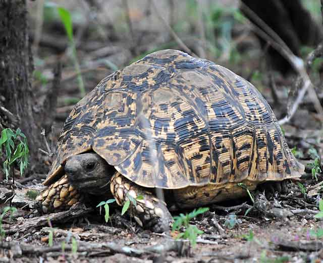 Leopard-Tortoise-Wildmoz.com
