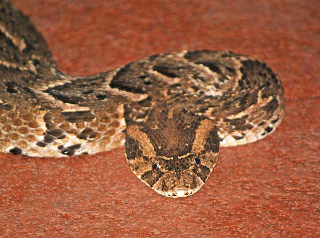 Puff-Adder-Closer-View-Wildmoz.com