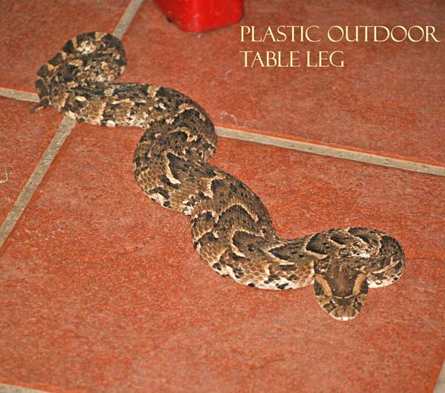 Puff-Adder-Under-My-Chair-Wildmoz.com