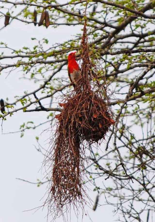 Red-Headed-Weaver-Wildmoz.com