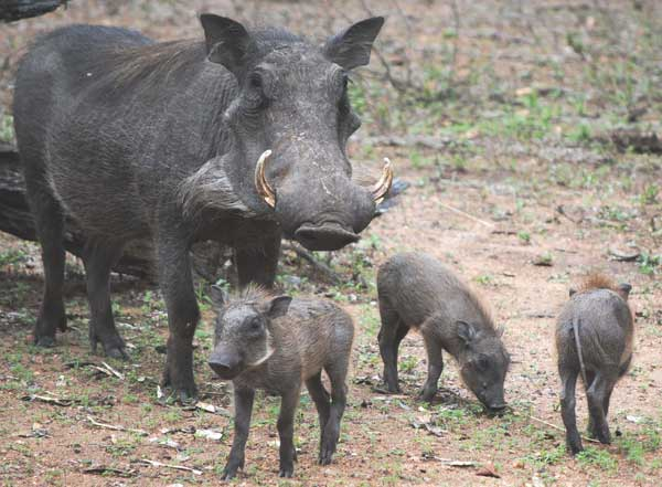 Warthog-and-babies-wildmoz.com