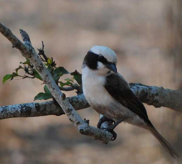 Everyday-wildlife-white-crowned-shrike-Wildmoz.com
