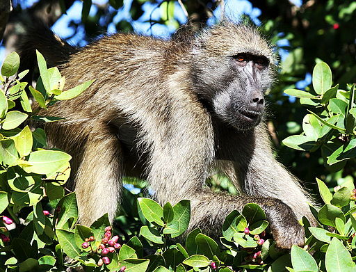 Chacma-baboon-everyday-wildlife-wildmoz.com