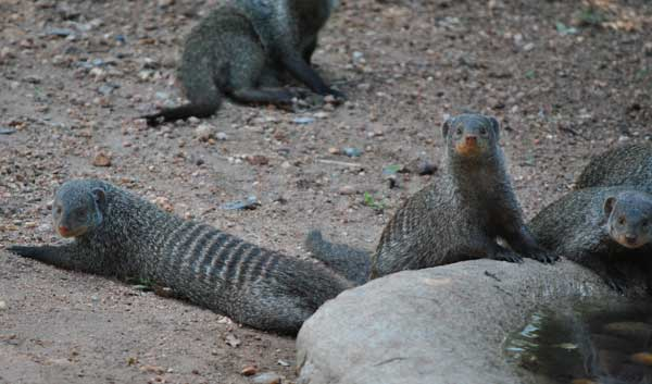 Everyday-wildlife-banded-mongoose-wildmoz.com