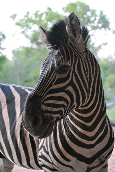 Everyday-wildlife-Zebra-wildlmoz.com