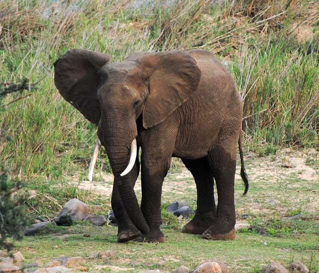 Elephant-dancing-wildmoz.com