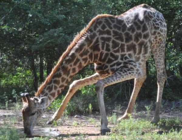 Everyday-wildlife-giraffe-drinking-wildmoz.com