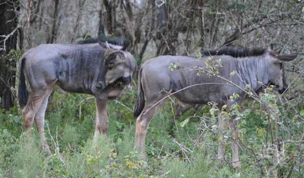Everyday-wildlife-juvenile-wildebeest-wildmoz.com
