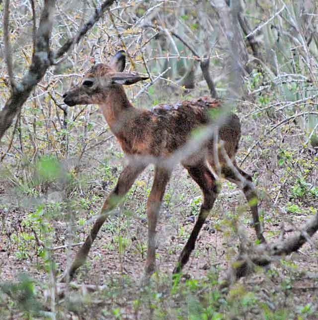 Impala-Baby-11-Wildmoz.com