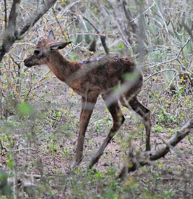 Impala-Baby-12-Wildmoz.com