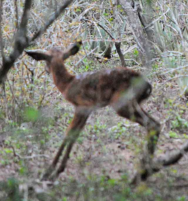 Impala-Baby-13-Wildmoz.com