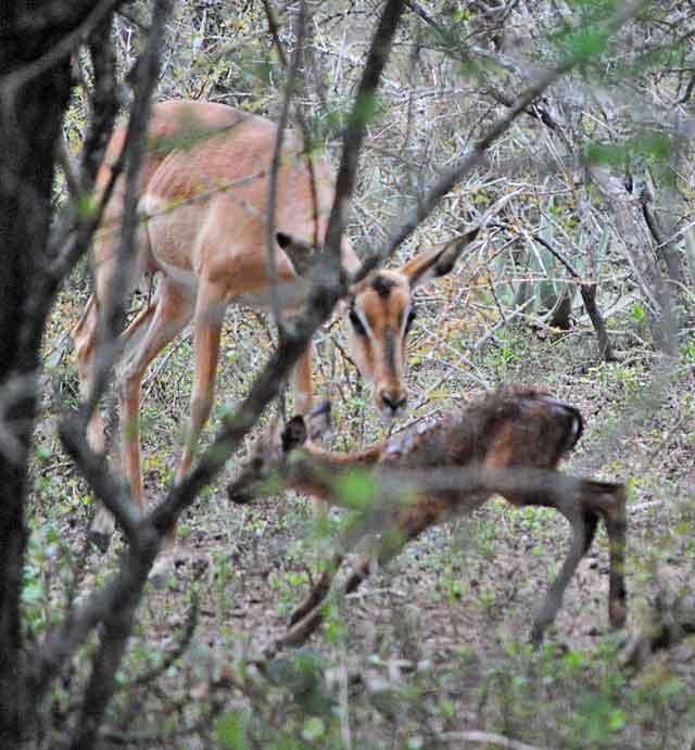 Impala-Baby-14-Wildmoz.com